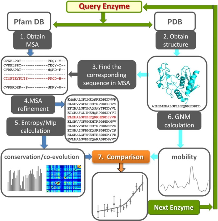 Workflow of the study. For each query enzyme in the data set, we retrieve the structure from the <t>PDB</t> and the <t>MSA</t> from Pfam database. These are used as input for 1) GNM evaluation of residue mobilities (right branch) and 2) generation of conservation profile and coevolution maps (left branch), respectively. Comparison of the outputs shows that sequence entropy is accompanied by conformational mobility (enhanced dynamics), correlated mutations exhibit a broad range of mobilities depending on the type of underlying evolutionary pressure, and conserved sites are practically immobile. Statistically significant results are obtained by compiling the outputs for 34 enzymes.