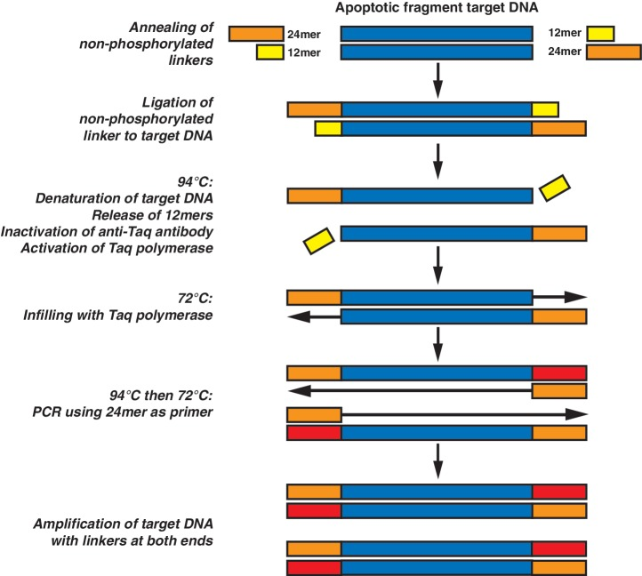 Molecular process of ligation-mediated PCR. Non-phosphorylated oligonucleotides are annealed then blunt-end ligated to target apoptotic DNA within the gDNA population. Heating to 94°C releases the unligated 12-mers and dissociates the monoclonal antibody from Taq polymerase, allowing synthesis at 72°C of the complement of the 24-mer sequence. Subsequent cycles at 94°C then 72°C allows amplification of target DNA using only the 24-mer as PCR primer. Blue boxes: single strands of target DNA; yellow boxes: 12-mers; orange and red boxes: 24-mers and their synthesized complement respectively. Process modified from Staley et al . ( 17 ).