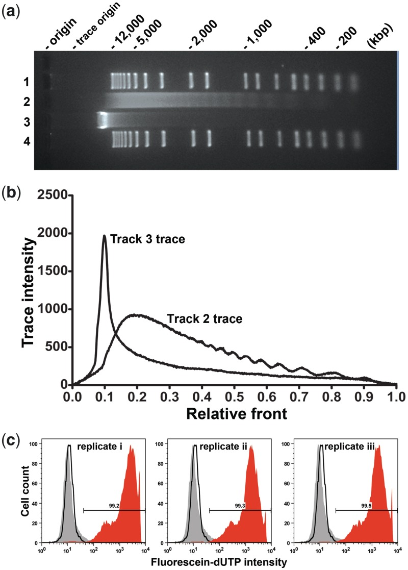 Production and verification of completely apoptotic DNA. ( a ) After 5 h incubation, Jurkat cell gDNA was purified as in 'Materials and Methods' section, electrophoresed together on a 1.5% agarose gel, stained with ethidium bromide then destained. Tracks 1 and 4: 500 ng per track molecular weight markers (1 kb Plus DNA ladder, Invitrogen). Track 2: 500 ng Jurkat gDNA incubated with 8 µM staurosporine for 5 h. Track 3:500 ng of untreated (staurosporine-negative) Jurkat gDNA. ( b ) Trace intensities of samples in tracks 2 and 3 from gel of (a). The location in the figure of the y-axis and the length of the x-axis are aligned with the gel in (a). The track 2 trace reveals a complete absence of high molecular weight (unfragmented) gDNA, hence defined as completely ('100%') apoptotic DNA. ( c ) The extent of apoptosis was verified by flow cytometric measurement of TUNEL-positivity of cells from the same experiment shown in (a) and (b). Gating excluded sub-cellular debris and selected the total cell population. At least 10 000 events were sorted at each measurement. Black line histogram: negative control cells after 5 h incubation (TUNEL label, no enzyme); autofluorescence controls showed peaks at equivalent positions to negative control (data not shown); grey tint histogram: three replicates of untreated cells after 5 h; red tint histogram: three replicates of cells treated with 8 µM staurosporine for 5 h. Mean TUNEL-positivity was 99.3%. To confirm reproducibility of generating completely apoptotic DNA, this experiment was repeated twice on separate occasions with comparable results ( Supplementary Figure S3 ).