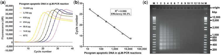 Merging ligation-mediated PCR with qPCR (qLM–PCR) to generate an apoptotic DNA standard curve. Apoptotic gDNA defined as complete was measured spectrophotometrically, diluted to cover a 1000-fold range of quantities and added to annealing/ligation reactions. Aliquots of diluted annealing/ligation reactions were added to qLM–PCR reactions and fluorescence of triplicates monitored in real time. ( a ) Mean of triplicate amplification plots shown. NTC: annealing/ligation with no gDNA into a qLM–PCR reaction as a no template control. ( b ) Representative standard curve showing correlation between C t and amount of apoptotic DNA. Analysis of inter-run apoptotic standard curve consistency is reported in Supplementary Table S2a and S2b . ( c ) Electrophoresis on one agarose gel of actual qLM–PCR reactions (halted at cycle 20) using 2-fold dilutions of completely apoptotic DNA after ethidium bromide staining and de-staining. Fifty percent of each 25 µl reaction per well. M: 500 ng molecular weight markers per well with sizes shown on the right. Tracks 1 and 14: not loaded. Track 13: NTC. Track 2 to 12: 2-fold dilutions of complete apoptotic DNA from 15 000 pg to 14.6 pg in each qLM–PCR reaction. Gel shows that the qLM–PCR standard curve is generated by amplification of apoptotic fragments.