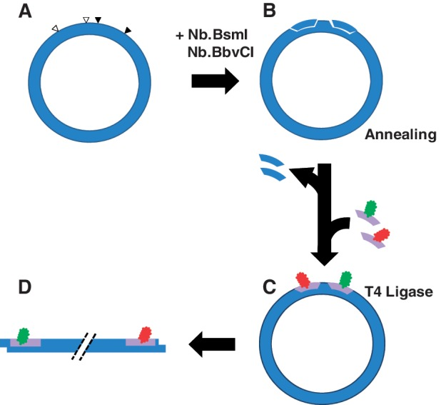 Method for generating doubly labeled plasmid DNAs. ( A ) We engineered novel-plasmid DNA constructs in which pairs of tandem BbvC I and Bsm I restriction sites flank respective loxP sites. The minor distance between centers of the loxP sites is 65 bp. ( B ) Tandem nicks were generated at BbvC I and Bsm I sites by treatment with mutant endonucleases Nb.BbvCI and Nb.BsmI. ( C ) Fluorophore labels (donor in green; acceptor in red) were incorporated by displacing the single-stranded fragments released by the tandem nicks, which were subsequently sealed with T4 DNA ligase. ( D ) The covalently closed plasmid was separated from residual nicked DNA and linearized by treatment with Pst I.