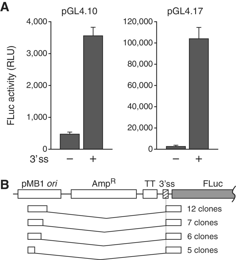A 3′ ss can mimic a promoter in the pGL4 system by inducing production of spliced readthrough transcripts. ( A ) Expression of luciferase from pGL4.10 and pGL4.17 with and without the globin 3′ ss inserted into the MCS. Error bars, SD. ( B ) 5′ RACE products from pGL4.17 containing the globin insert.