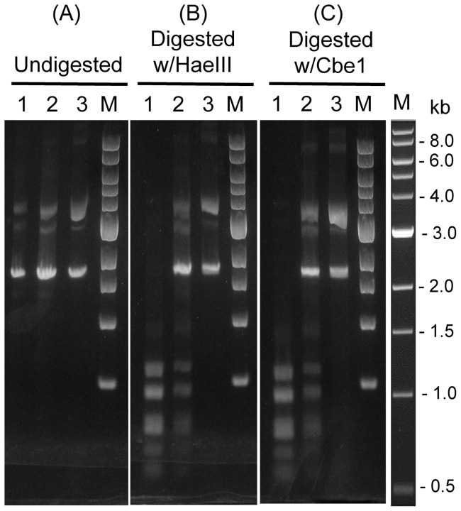 Protection of DNA by M.CbeI or M.HaeIII from digestion in vitro . In each panel, lane 1 is unmethylated plasmid DNA (pUC18) isolated from E. coli ( dam + dcm + ), lane 2 is plasmid DNA methylated in vitro with M.HaeIII (NEB) at 37°C, lane 3 is plasmid methylated with purified M.CbeI at 78°C. (A) undigested. (B) digested with HaeIII (C) digested with purified CbeI. DNAs were subjected to electrophoresis in a 1.2% TAE-agarose gel, and then stained with ethidium bromide. M: 1kb DNA ladder (NEB).