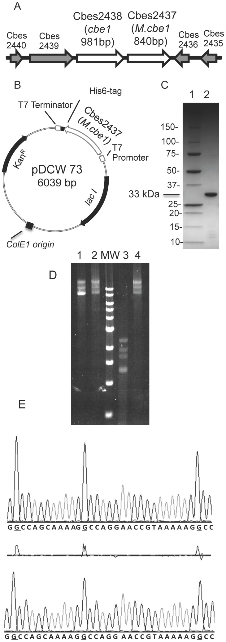 Cloning, expression, purification and partial characterization of M.CbeI. (A) The region of the C. bescii chromosome containing CbeI and M.CbeI. (B) Diagram of pDCW73 used to produce a His-tagged version of M.CbeI in E. coli . (C) Purified M.CbeI displayed on a 10–20% Tris-HCl gradient gel (CriterionTM Precast Gel, Bio-Rad Laboratories, Hercules, CA) stained with coomassie blue. lane 1: protein molecular weight standards (BioRad); lane 2: 15 ng of purified M.CbeI protein. (D) lane 1, undigested unmethylated pDCW70; lane 2, undigested M.CbeI methylated pDCW70; lane 3, unmethylated pDCW70 digested with purified CbeI; lane 4, M.CbeI methylated pDCW70 digested with purified CbeI, MW: 1 kb DNA ladder (NEB). (E) DNA sequence traces of DNA methylated with M.CbeI (top panel) or M.HaeIII (bottom panel). Differences in the G residue signals between M.HaeIII and M.CbeI pUC18 are shown in the middle panel.