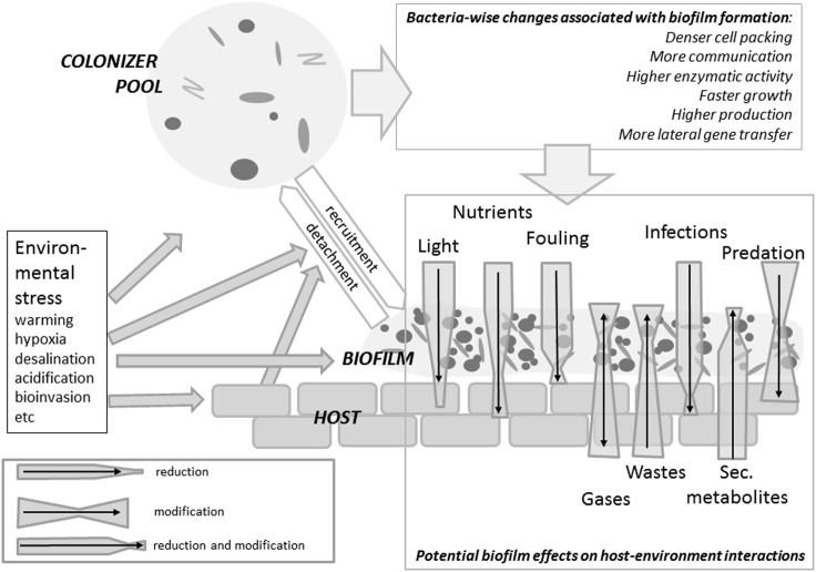 Summary of biofilm impact on the host varying from detrimental to beneficial effects according to the epibiont's identity, the type of interaction considered and the environmental conditions . Via a recruitment/detachment equilibrium – controlled by environmental and host traits – epibiotic bacterial communities are connected to the free water phase. When forming a biofilm, bacteria experience a boost in activity and interactions. The host will experience a certain reduction in irradiation. Fouling, infections and predation will be affected by the presence of a biofilm, but extent and even sign of these effects are context-specific. An algal host will experience a reduction or an enhancement in nutrient availability depending on whether the autotrophic, respectively heterotrophic components prevail in the biofilm. Wastes and secondary metabolites (including infochemicals) may be metabilized by the biofilm.