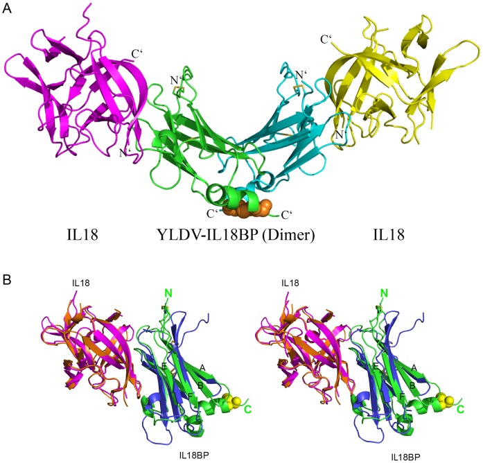 Overall structure of YLDV-IL18BP:IL18 complex. A). YLDV-IL18BP displays a homo-dimer (green and cyan), each adopting a β-sandwiched Ig-fold structure. Each protomer binds one molecular of IL18 (yellow and magenta), forming a 2∶2 complex. The intra-chain disulfide bonds (SS) in YLDV-IL18BPs are shown as yellow sticks. The inter-chain SS bond at the C-terminus of YLDV-IL18BPs is shown as orange spheres. B). Stereoview of superimposition of the monomer complexes of YLDV-IL18BP (green):IL18 (magenta) and ECTV-IL18BP (blue):IL18 (orange). The N- and C-terminus of YLDV-IL18BP are indicated. The intra-chain SS bonds are shown as in A. Residue C132 is shown as yellow spheres. The β-strands A, B, E and F in YLDV-IL18BP are labeled.