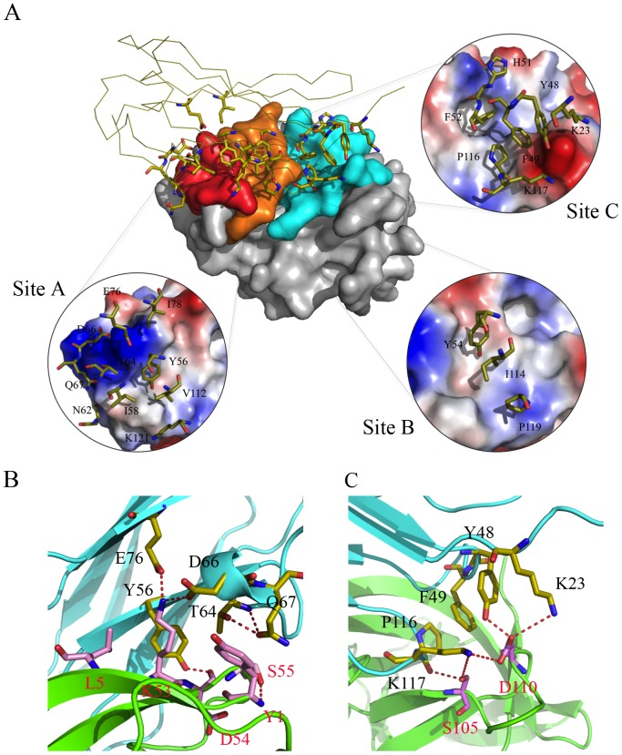 YLDV-IL18BP:IL18 interface. A). Key residues of YLDV-IL18BP at the interface. YLDV-IL18BP binds nearly identical surface of IL18 as previously observed in ECTV-IL18BP inhibitory complex. IL18 is shown as surface representation and colored grey. YLDV-IL18BP is drawn as a ribbon diagram with β-sheets colored in yellow. Binding sites A, B and C on IL18 surface are colored red, orange and cyan respectively. YLDV-IL18BP residues involved in binding IL18 are shown as stick representations. Each insert details the interactions involved in the respective binding site between YLDV-IL18BP and IL18. B). Unique interactions at binding site A. Carbon atoms of YLDV-IL18BP and IL18 are colored in yellow and pink, respectively. The secondary structures of YLDV-IL18BP and IL18 are colored in cyan and green, respectively. Red dashed lines indicate H-bonds. C). Unique interactions at binding site C. YLDV-IL18BP P116 is involved in favorable hydrophobic interactions with IL18. Polar interactions at site C involve S105 and D110 residues of IL18. The coloring scheme is the same as in B.