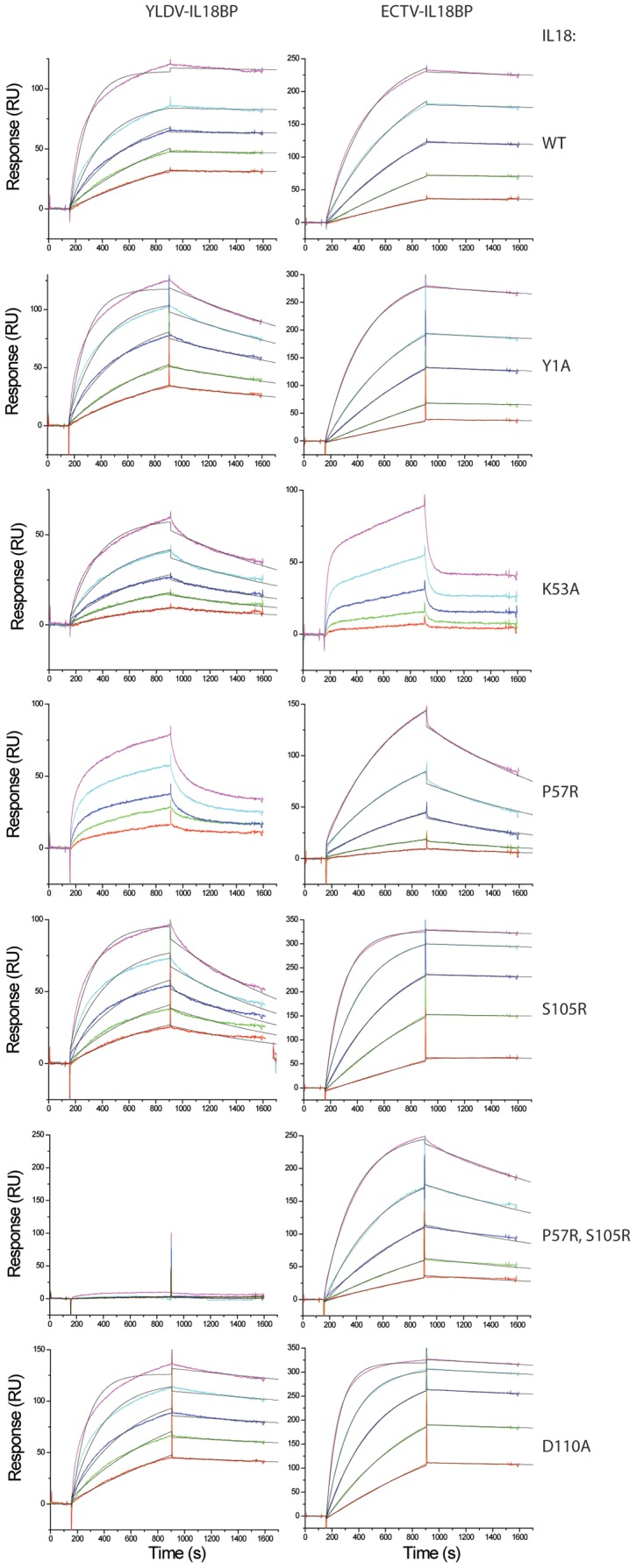 Kinetic analyses of the binding of IL18 with YLDV-IL18BP or ECTV-IL18BP. SPR analysis was performed as described in Figure 9 with IL18 at 5 different concentrations. The binding curves were globally fitted with BiaEvaluation software to a 1∶1 binding model. The colored and black lines are the actual responses in RU and globally fitted curves, respectively.