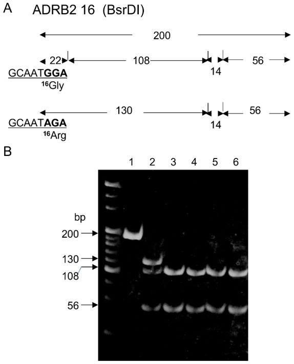 All hominoids had Gly16 allele in ADRB2 . A) Restriction map of ADRB2 for the 16 th amino acid digested with BsrD I ( GCAATGNN ). This restriction map was predicted from the nucleotide sequences of hominoids ( Fig. 1 ). B) RFLP patterns of PCR products of ADRB2 for the 16 th amino acid digested with BsrD I in hominoids. Lane 1: PCR product of a human; not digested (200 bp). Lane 2: Fragments of human Arg16/Gly16 (130,108 and 56 bp (22 and 14 bp fragments were undetectable)). Lane 3 to lane 6: Fragments from P. troglodytes , G. gorilla , P. pygmaeus , and H. agilis , respectively (108 and 22 bp instead of 130 bp).