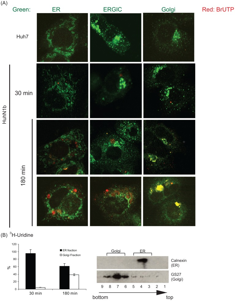The translocation of newly-synthesized HCV RNA. HCV replicon cells were labeled with BrUTP (A) or 3 H-Uridine (B) in the presence of actinomycin D and chased for up to 180 minutes. (A) Immunofluorescence staining with anti-BrdU and other organelle antibodies shows the colocalization of BrU-labeled HCV RNA with ER initially (30 min) and then with Golgi (180 min). (B) Fractionation of ER and Golgi by sucrose gradient. Fraction numbers and their gradient positions are noted at the bottom. 3 H-Uridine-labeled RNA in the ER (fraction 4) and the Golgi (fraction 6–8) fractions were collected, and the radioactivity of 3 H-Uridine-labeled RNA was counted. Immunoblotting of ER and Golgi makers demonstrates the separation of ER and Golgi by sucrose gradient fractionation.