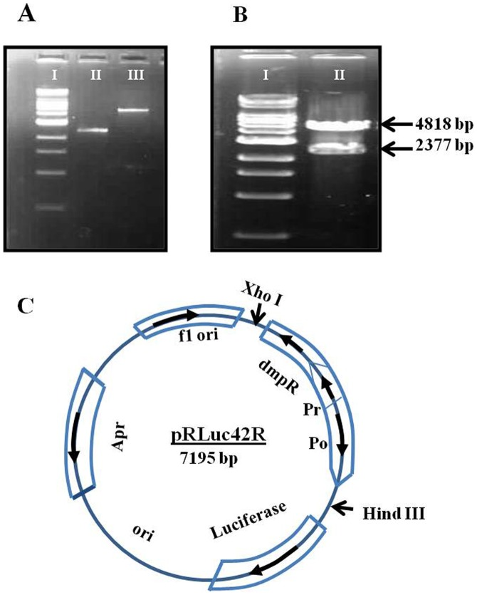 Construction of plasmid pRLuc42R. The DmpR (1.692 kb) and its promoter (Pr) and operator (Po) were cloned from Pseudomonas sp. CF600. DNA segment was digested with XhoI and Hind III and introduced upstream of the luciferase gene in the pGL3 basic expression vector. The arrows indicate the transcription or processing direction for genes. (a) Digested and gel purified pGL3 vector and Gel Purified DmpR+Po Promoter for Ligation (b) Double digestion of pRLuc42R. (c) Vector drawing of pRLuc42R Fig (a) I-500 bp ladder, II-2377 bp (insert), III-4818 bp (vector) Fig (b) I-500 bp ladder, II-Double digested pRLuc42R.