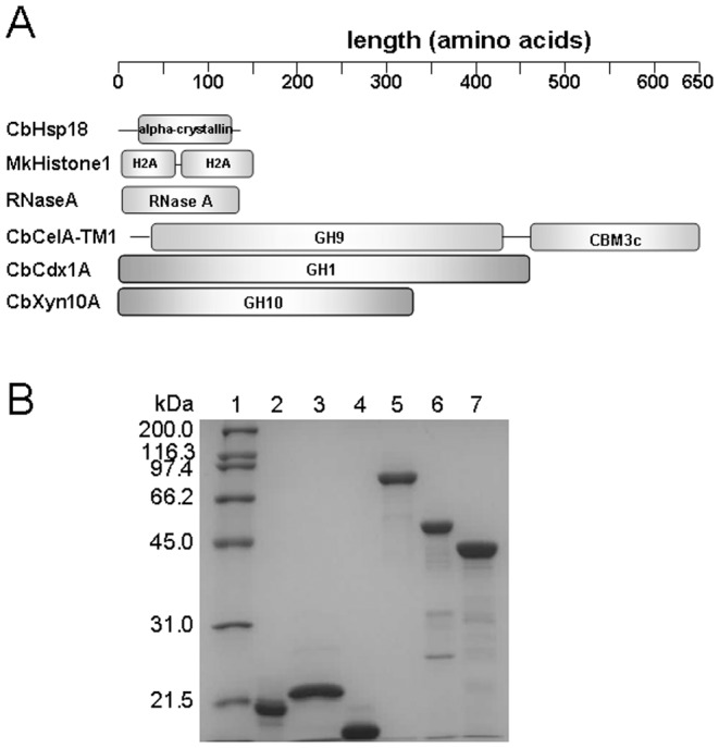 Schematic domain structures (A) and SDS-PAGE analysis (B) of the non-GH proteins and glycoside hydrolases. A: A schematic representation of the polypeptides of CbHsp18, MkHistone1, and the three glycoside hydrolases of C. bescii used in this study. GH9: Glycoside hydrolase family 9 domain; CBM3c: Carbohydrate binding module family 3 type C. B: SDS-PAGE analysis of purified recombinant non-GH proteins and the three glycoside hydrolases of C. bescii . Lane 1: molecular mass markers; lane 2: CbHsp18; lane 3: MkHistone1; lane 4: RNase A; lane 5: CbCelA-TM1; lane 6: CbCdx1A; lane 7: CbXyn10A. Two micrograms of each protein were resolved by 12% SDS-PAGE. RNase A was a commercial product (Roche).