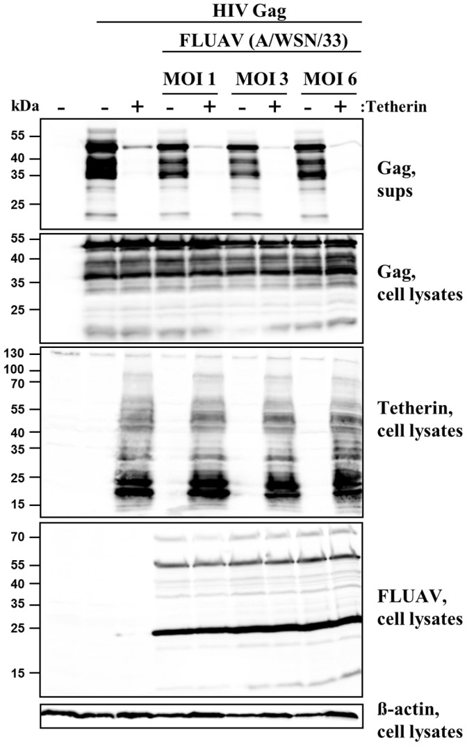 Influenza A virus infection does not antagonize tetherin. Plasmids encoding HIV-1 Gag and tetherin were cotransfected into 293T cells and the cells were subsequently infected with A/WSN/33 at the indicated MOIs or mock infected. At 24 h post infection the presence of Gag in cell lysates and culture supernatants (sups) as well as the expression of tetherin, FLUAV antigens and β-actin in cell lysates was determined by Western blot. Similar results were obtained in four separate experiments conducted with MOIs of 0.03 and 0.3.