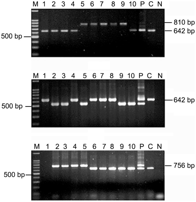 "Variant cagA subtypes detected on the basis of PCR with primers CAG1 and CAG2 amplifying the 3′ end of the gene. M, 100 bp marker; lane 1–10, single colonies isolated from individual patient and ""P"" denotes pooled DNA sample; C, positive control for type A cagA (cagA types were named according to the types described by Yamaoka et al. , (1998); N, Negative control ( E. coli DNA). (a) Mixed H. pylori populations were detected by obtaining amplicons for type A and type C in PG218. (b) For PG93, mixed H. pylori populations were detected by obtaining amplicons for type A and a shorter amplicon of ∼500 bp, which could not be typed by the methodology developed by Yamaoka et al. , (1998). (c) For PG144, mixed H. p ylori populations were detected by obtaining amplicons for type A and type B/D."