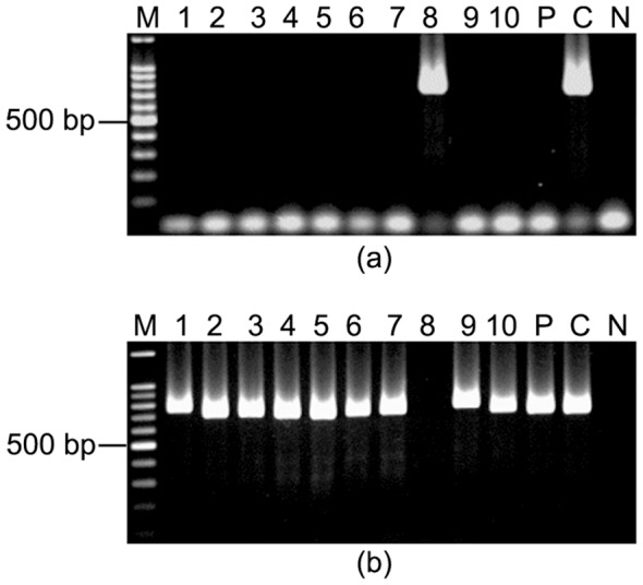 PG207 showed evidence of mixed infections on the basis of obtaining either iceA1 or iceA2 alleles. M, 100 bp marker; lanes 1–10, single colonies isolated from PG207; C, positive control; N, Negative control ( E. coli DNA). (a) All the single colonies were negative for iceA1 except for lane 8. (b) All these single colonies were positive for iceA2 except for lane 8. Three different amplicon sizes were obtained in this iceA2 PCR (lanes 1, 9; lanes 2, 3, 6, 7, 10 and lanes 4, 5).