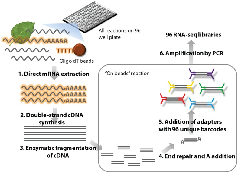 Outline of the high-throughput RNA-seq (HTR) library preparation . In short, frozen tissue samples are ground in the lysis buffer and <t>mRNA</t> is isolated from this using <t>oligo</t> dT beads (1). The mRNA is used to make first and second strands of cDNA (2) and this double stranded cDNA molecules are subsequently enzymatically fragmented (3). The ends of these molecules are repaired and an A nucleotide is added (4) to facilitate TA ligation of the barcoded adapters (5). The ligated samples are then enriched by amplification using adapter specific primers (6) and purified for sequencing.