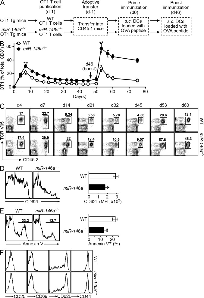 miR-146a–deficient T cells are hyperresponsive to acute antigen stimulation in vivo. (A) Schematic representation of the experimental design to study the influence of miR-146a deficiency on OVA-specific OT1 T cells in response to antigen stimulation in vivo. (B–F) Flow cytometry analysis of the WT and miR-146a −/− OT1 T cells (gated as CD8 + Vβ5 + CD45.2 + ) in the PB of recipient CD45.1 congenic mice receiving 5 × 10 6 WT or miR-146a −/− OT1 Tg T cells (day −1) followed by prime (day 0) and boost (day 46) immunizations. (B) Percentage of WT and miR-146a −/− OT1 T cells of total CD8 + T cells at the indicated time points. (C) Representative contour plots showing the quantitation of WT and miR-146a −/− OT1 T cells (pregated on CD8 + ) at the indicated time points. (D) Surface expression of activation marker CD62L on WT and miR-146a −/− OT1 T cells on day 7 (7 d after prime immunization). Representative histogram plots and measurements of mean fluorescence intensity (MFI) are shown. (E) Apoptosis of WT and miR-146a −/− OT1 T cells on day 14 (14 d after prime immunization) measured by Annexin V staining. Representative histogram plots and measurements of the percentage of Annexin V + OT1 T cells are shown. (F) Phenotype of the WT and miR-146a −/− OT1 T cells on day 45 (45 d after prime immunization). Representative histogram plots are shown. Data are presented as mean ± SEM ( n = 8) and are representative of three independent experiments. *, P