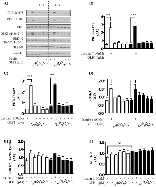 Effect of GLP-1 treatment on the insulin signaling cascade in myocytes cultured in high or normal glucose media. Satellite cells were isolated from lean, healthy males (n = 6), and differentiated in either high glucose (22 mM) or normal glucose (5 mM) media for seven days. Myocytes were treated with either 100 nM insulin or GLP-1 at indicated concentrations for 30 minutes before A) immunoblotting to assess the phosphorylation status of <t>PKB/Akt,</t> GSK3 and ERK1/2 and the total protein abundance of PKB/Akt and GLP-1R. Equal loading was ascertained by immunoblotting with an antibody against β-tubulin. Effect of high (open bars) and normal (black bars) glucose on phosphorylation of PKB Ser473 (B), PKB Thr308 (C), GSK3 (D) and ERK (E), and the total protein amount of GLP-1R (F) induced by insulin and GLP-1 was quantified (n = 6), normalized to total protein and expressed as arbitrary units. Significant changes from basal levels are indicated by * (P