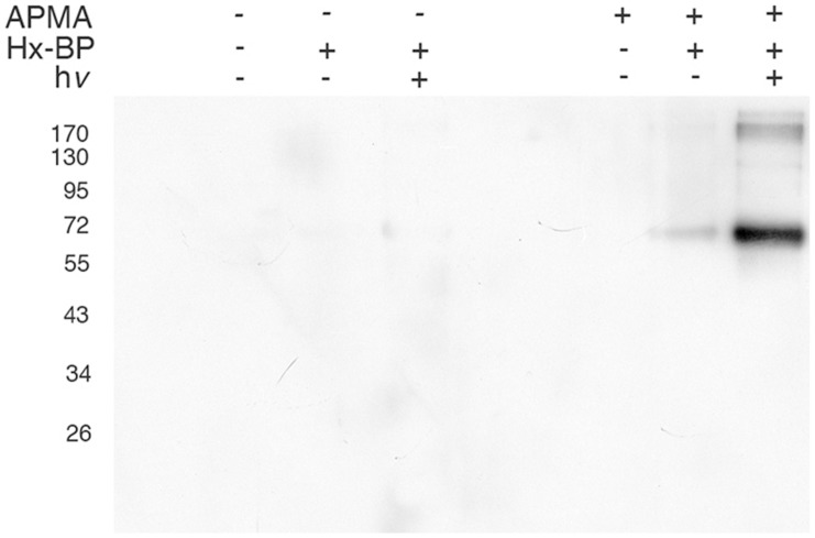 Hx-BP labels active MMPs in vitro . 135 ng of human recombinant MMP-2 (hrMMP-2) was incubated with 0.5 nmol of biotinylated HxBP, with or without activation by APMA and with or without UV crosslinking, then resolved by SDS-PAGE and blotted to PVDF membrane. Streptavidin-HRP detection of biotinylated hrMMP-2 is dependent on both the activation status of the protease, and on exposure to UV light (h v ).