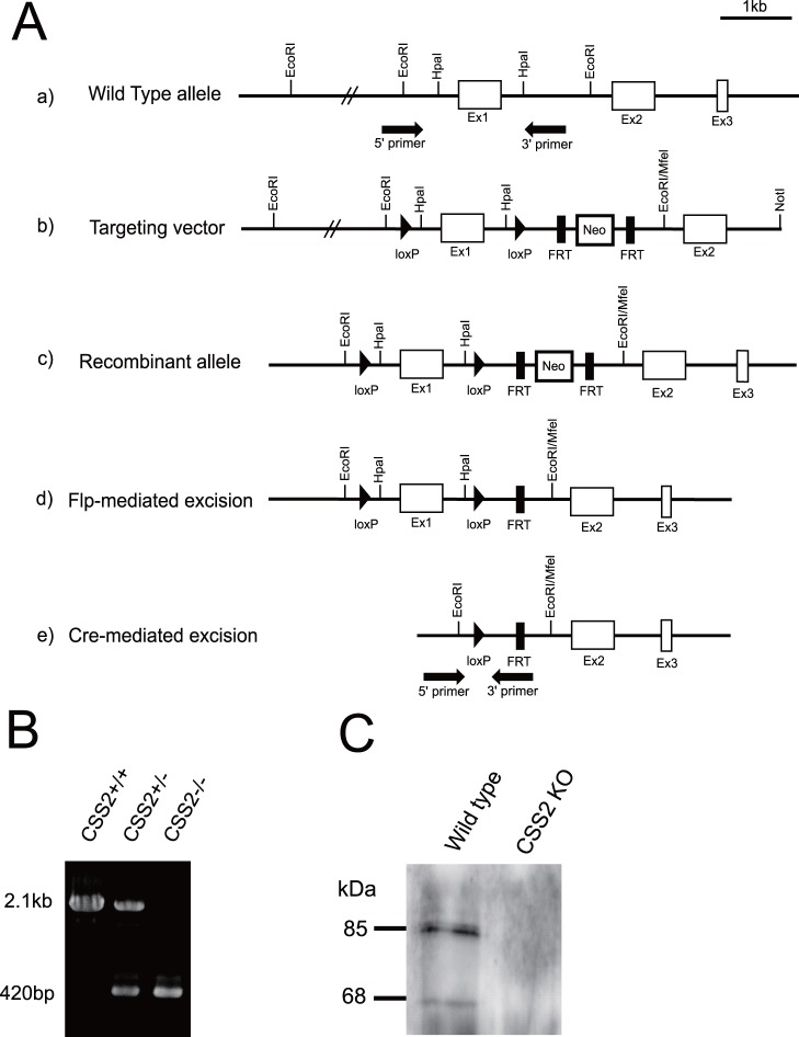 """Generation of CSS2 −/− mice. A, Genomic structure of CSS2 gene, the targeting vector, and the genome with homologous recombination and that whose fragments were excised by flippase and Cre systems. A , The genomic structure of CSS2 gene is depicted on the top line (a). CSS2 targeting vector (b) was constructed by flanking exon 1 with loxP sites, and flanking a Neo R cassette with FRT sites. ES cell clones with homologous recombination of the vector segment (c) were obtained by positive selection, and used for generation of chimera mice, followed by germ line transmission. The FRT-flanked Neo cassette was subsequently deleted from the recombinant allele by crossing with CAG-Flp Tg mice (d). Then, a genomic fragment containing exon 1, flanked by loxP sites, was excised from the recombinant allele by crossing with CAG-Cre Tg mice (e). B , Genomic PCR. Genotyping was performed by PCR using tail DNA and primers shown in black arrows in Fig. 1A. The PCR product of wild-type allele and CSS2 mutant allele was 2.1 kb and 420 bp respectively. C , Immunoprecipitation of the CSS2, followed by western blot. The cell lysates obtained from WT MEFs were subjected to western blot analysis as described in """"Experimental Procedures"""". Western blot analysis shows bands of CSS2 (85 kDa) and the CSS2 variant (68 kDa)."""