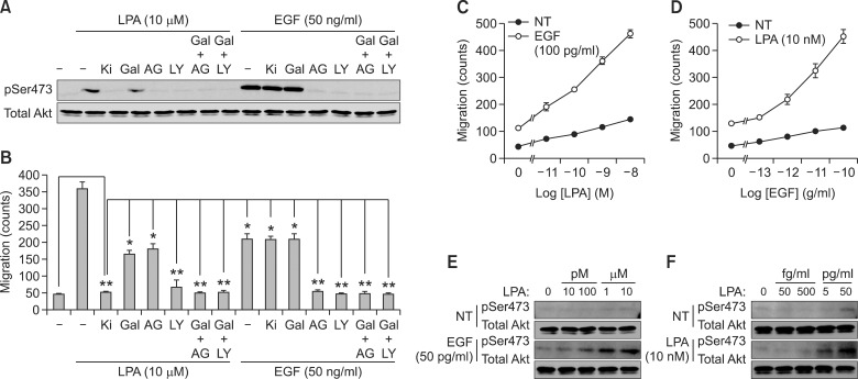 The activation of Gβγ and RTK is critical for LPA-induced cancer cell migration. (A) Akt activation by LPA (10 µM) and EGF (50 ng/ml) for 10 min was detected by western blotting with phospho-Akt (Ser473) and total Akt antibodies. (B) Migration of A549 cells was determined in the absence or presence of various inhibitors such as LPA receptor inhibitor (Ki: Ki16425, 2 nM), Gβγ inhibitor (Gal: gallein, 10 µM), RTK inhibitor (AG: AG1478 100 nM), PI3K inhibitor (LY: LY294002, 10 µM) or gallein together with AG1478 or LY294002 upon LPA (10 µM) or EGF (50 ng/ml) stimulation for 10 h. The chemotactic migration of A549 cells induced by either LPA (10 nM) with the indicated dose of EGF (C) or EGF (50 pg/ml) with the indicated dose of LPA for 10 h (D), and phosphorylation at Ser473 of Akt and total Akt levels were assessed by western blotting (E, F). * P