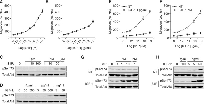 Synergistic acceleration of cancer cell migration is regulated by both GPCR and RTK. A549 cell migration was stimulated with S1P and IGF-1 at the indicated dose for 10 h (A, B). Akt phosphorylation was stimulated by the indicated dose of S1P (C) and IGF-1 (D) for 30 min and verified by western blotting with phospho-Akt (Ser473) and total Akt. The chemotactic migration of A549 cells induced by either IGF-1 (500 pg/ml) with the indicated dose of S1P (E) or S1P (1 nM) with the indicated dose of IGF-1 for 10 h (F). Phosphorylation at Ser473 of Akt and total Akt were stimulated by either IGF-1 (500 pg/ml) with the indicated dose of S1P (G) or S1P (1 nM) with the indicated dose of IGF-1 for 30 min (H).