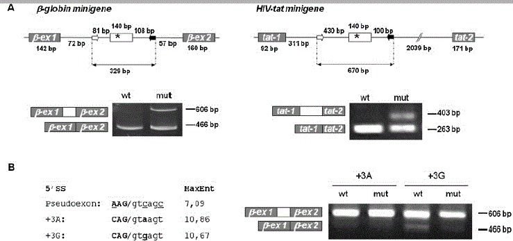 Recognition of the MTRR pseudoexon with weak 5′ splice site is dependent on the presence of the c.903+469T > C mutation. A: Splicing minigene assay. Upper panel depicts the <t>β-globin</t> and HIV- tat minigenes harboring the wild-type or mutant MTRR pseudoexon. Minigenes were used to transiently transfect COS-7 cells. After RNA isolation the splicing products were analyzed by RT-PCR using minigene-specific primers. The lower bands represent correctly spliced minigene exons, the upper bands represent MTRR pseudoexon inserted between minigene exons. B: 5′ splice site optimization. The suboptimal pseudoexon 5′ splice site ( A AG/gt c ag c ) was converted to an optimal 5′ splice site (variant +3A: C AG/gt a ag t ) or to the nearly optimal 5′ splice site (variant 13G: C AG/gt g ag t ), and wild-type and mutant minigenes were analyzed by transfection/RT-PCR. The scores of the different 5′ splice sites assessed by the MaxEntScan program ( http://genes.mit.edu/burgelab/maxent/Xmaxentscan_scoreseq.html ) [ Yeo and Burge, 2004 ] are shown in the left panel. Right panel shows results from RT-PCR analysis of splicing products.