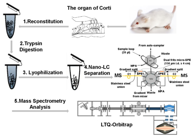 Schematic diagram of proteomic analysis of the mouse organ of Corti (OC) sample. ( 1 ) The OCs were reconstituted in 100 μL lysis buffer (100 mM ammonium bicarbonate, pH 8.4); ( 2 ) The lysates were reduced by 5 mM DL-Dithiothreitol (DTT) and digested by trypsin overnight; ( 3 ) The digests were desalted and dried in a vacuum centrifuge immediately after digestion; ( 4 ) Dried peptides were subjected to the in-house assembled reverse phase metal-free multiple-column nanoLC system coupled with ( 5 ) LTQ-Orbitrap XL mass spectrometer for MS analysis.