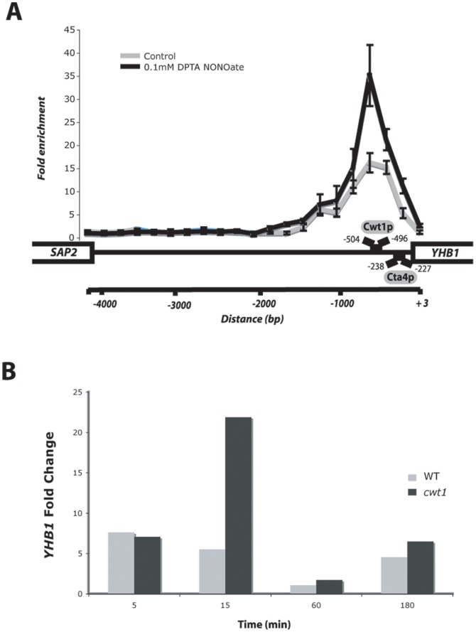 Cwt1p bound the promoter region of the nitric oxide dioxygenase YHB1 and controls negatively its transcription. ( A ) Cwt1p is detected at the YHB1 promoter using tiled ChIP-qPCR, and the enrichment signal overlaps precisely its DNA-binding motif. Cwt1p occupancy was assessed in the presence and the absence of nitrosative stress. The nitric oxide-responsive element (NORE) recognized by the TF Cta4p is also shown. ( B ) Average expression of the nitric oxide dioxygenase YHB1 in response to 0.1 mM DPTA NONOate is shown in the wt and cwt1 strains in two independent biological replicates. Fold changes were estimated by using the coding sequence of the C. albicans ACT1 ORF as a reference. Fold enrichments of the tested coding sequences were estimated using the comparative ΔΔCt method.