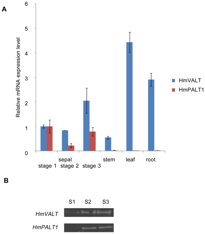Expression of HmVALT and HmPALT 1 and accumulation of their gene products in hydrangea. ( A ) The amount of HmVALT and HmPALT1 mRNA was determined by quantitative RT-PCR. mRNAs were prepared from sepal at each stage and other tissues. The data are relative to the expression of 18S ribosomal RNA and were further normalized to the level of sepal at stage 1 mRNA, which was expressed as 1.0. The error bars represent SD (n = 3). ( B ) Immunoblot analyses of HmVALT and HmPALT1 in the sepals. Hydrophobic protein fractions were extracted from sepal tissues at each stage and subjected to SDS–PAGE (20 µg of protein).