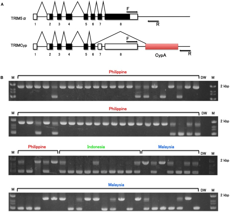 Determination of CypA insertion. (A) Diagram indicating splicing of TRIM5α or TRIMCyp. Noncoding and coding exons and CypA sequences are shown in white, black, and shaded white, respectively. F and R denote forward and reverse primers used in this study, respectively. (B) The genomic DNA was extracted from whole blood. To test for CypA insertion, the 3′ region of the TRIM5 gene was amplified by PCR with primers spanning the 3′ UTR and the putative CypA insertion. M and DW denote DNA molecular weight standard marker and water control, respectively.