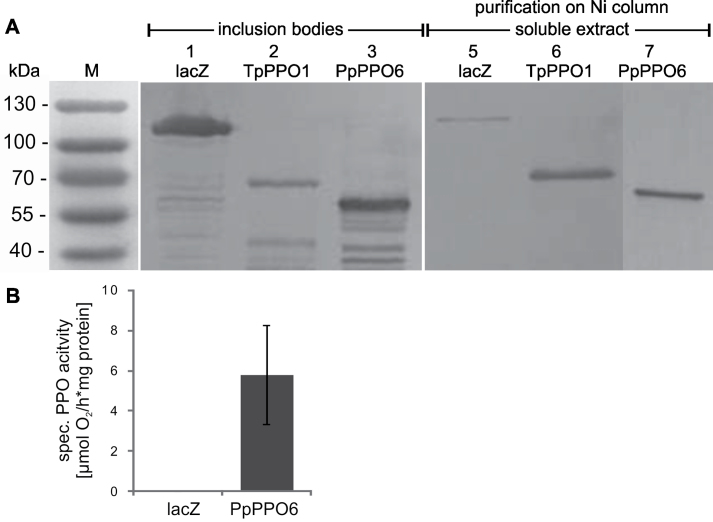 Recombinant PPO proteins and enzyme activity. (A) Western blot analysis of insoluble (left panel), and soluble protein extracts (right panel) enriched and purified on a Ni-column. Protein extracts of 6h IPTG-induced E. coli cultures expressing His-tagged proteins were separated on a 12.5% SDS gel and detected by an anti-His-tag antibody: lacZ:his (120kDa), TpPPO1:his (59kDa, migrates at 65kDa according to Sullivan et al. , 2004 ), PPO6:his (62kDa). (B) Specific PPO activity of enriched and purified soluble protein extracts determined polarographically using 4-methylcatechol as a substrate. Bar, standard deviation ( n = 3).