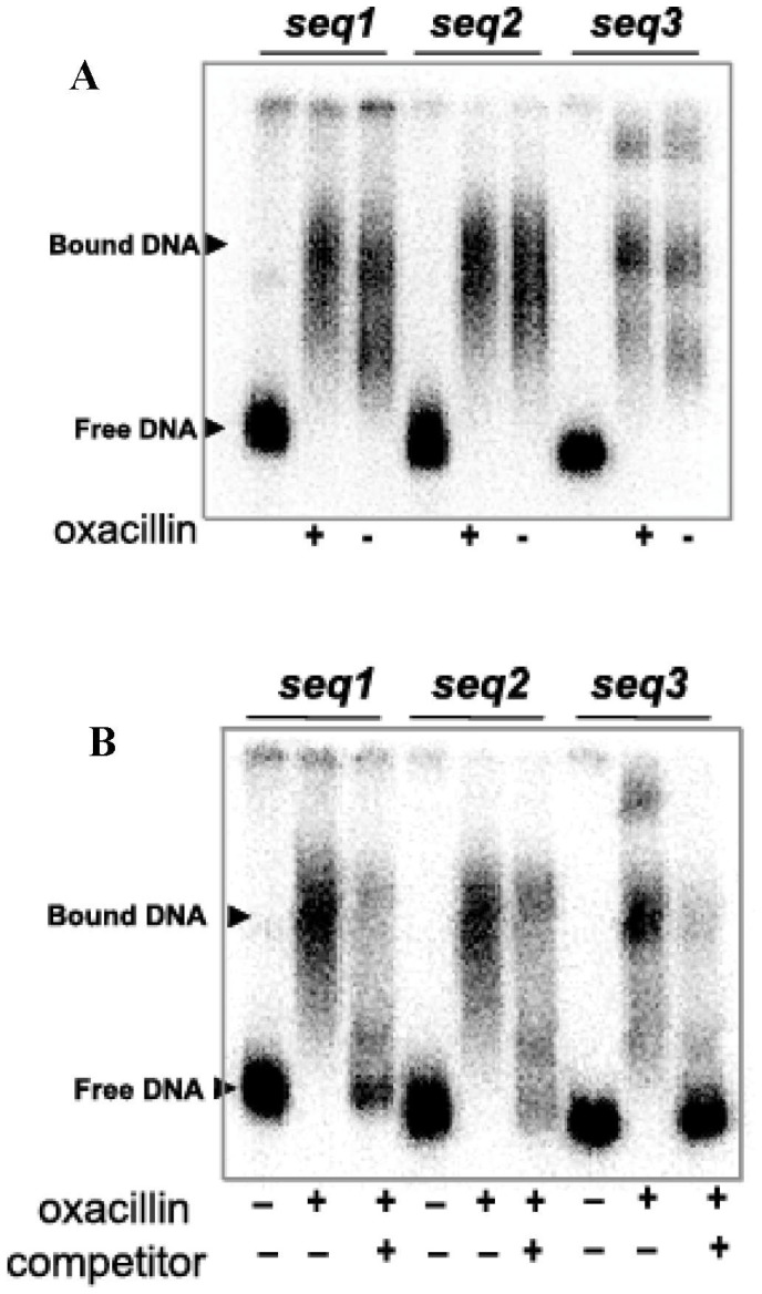 Probing for fmtA transcription factor(s) in S. aureus cell extracts. (A) Binding reactions between 5′- 32 P-end labeled seq1, seq2 , and seq3 fragments of P fmtA and oxacillin-induced (+) or uninduced (-) S. aureus cell extracts. (B) EMSA of binding reactions between 5′-end [γ- 32 P] ATP labeled seq1 , seq2 and seq3 (2 ng) and oxacillin-induced S. aureus cell extracts in the presence and absence of unlabeled competitor (400 ng).