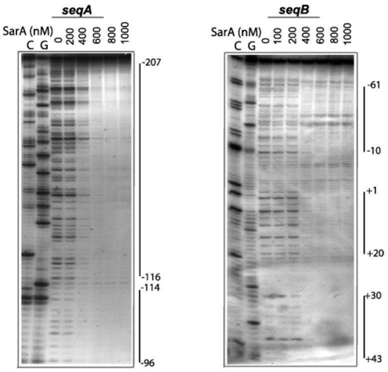 DNaseI footprint analysis of SarA binding to seqA and seqB fragments of P fmtA . A. Each DNA sequence was labeled with [γ- 32 P]ATP on the 5′-end of the bottom strand.