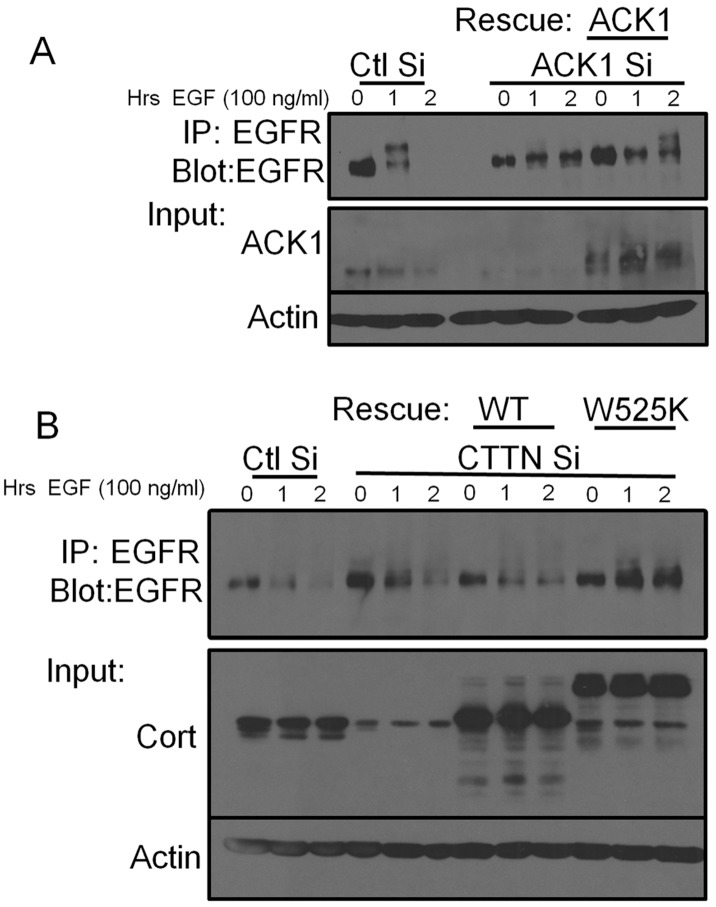 EGFR downregulation requires ACK1 and the cortactin SH3 domain. (A) 1483 cells were transfected with non-targeting (Ctl) or human-specific ACK1 siRNA (ACK1 Si) for 48 h. Murine Myc-ACK1 was subsequently transfected into ACK depleted cells to rescue ACK1 expression. Cells were serum starved for 16 h and then treated with EGF for the indicated times. Following stimulation, clarified lysates were immunoprecipitated and immunoblotted with anti-EGFR antibodies. Total cell lysates were immunoblotted with anti-ACK1 and anti-actin antibodies. (B) 1483 cells were transfected with a non-targeting (Ctl) or cortactin specific siRNA (CTTN Si) for 48 h. Cortactin expression was rescued by transfection with FLAG-cortactin wild type (WT) or with an SH3-null binding mutant (W525K). Cells were serum starved for 16 h prior to EGF stimulation for the indicated times. EGFR was immunoprecipated and immunoblotted with anti-EGFR antibodies. Total cell lysates were immunoblotted with anti-cortactin to verify knockdown and expression of the FLAG-cortactin rescue constructs. Western blotting with anti-actin antibodies was conducted to verify equal protein loading. Blots are representative of two independent experiments.
