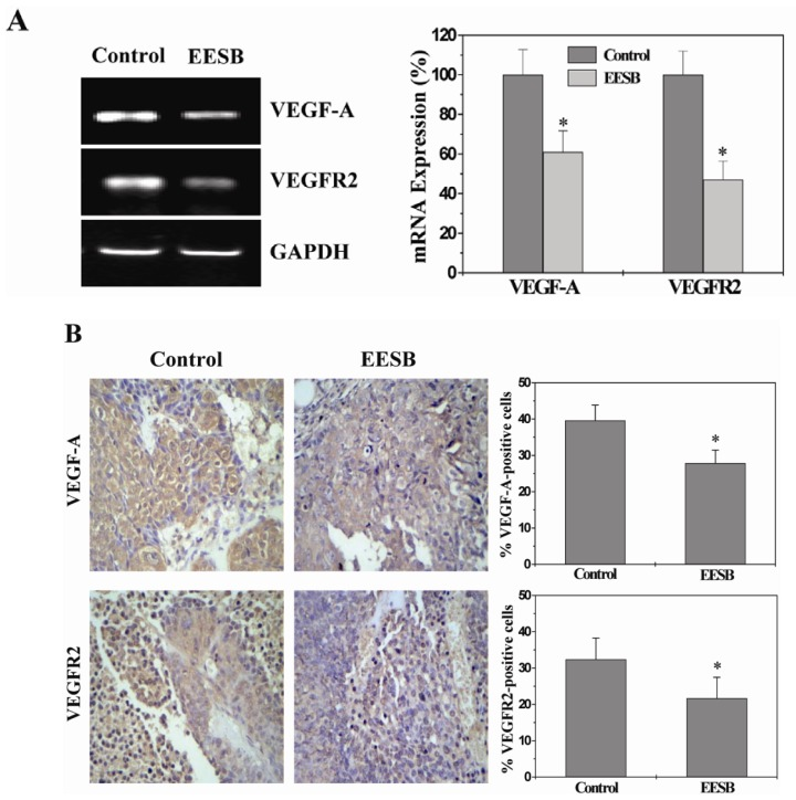 Effect of EESB on the expression of VEGF-A and VEGFR2 in CRC xenograft mice. ( A ) The mRNA expression levels of Vascular endothelial growth factor-A (VEGF-A) and VEGF Receptor 2 (VEGFR2) were determined by RT-PCR. GAPDH was used as the internal control. The data of densitometric analysis were normalized to the mean mRNA expression of untreated control (100%); ( B ) Tumor tissues were processed for IHC staining for VEGF-A and VEGFR2. The photographs were representative images taken at a magnification of ×400. Quantification of IHC assay was represented as percentage of positively-stained cells. Data shown were averages with S.D. (error bars) from 10 individual mice in each group. * p
