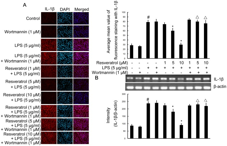 PI3-K is involved in resveratrol-attenuated the production of the proinflammatory cytokine IL-1β at the transcriptional and translational levels in RAW 264.7 macrophage cells. Panel A shows the immunofluorenscence images for protein expression of IL-1β and Panel B shows the corresponding mRNA data. The relative mRNA level was quantified by scanning densitometry and normalized to β-actin mRNA. Note the up-regulated protein and mRNA expression of IL-1β by LPS is suppressed by different concentrations of resveratrol; however, in cells pretreated with PI3-K inhibitor wortmannin, the suppressive effect of resveratrol is abrogated. The values shown are mean ± SEM of data from three independent experiments. # Significant compared with control alone, p