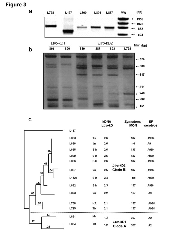 The kDNA <t>PCR</t> and RFLP products of the 12 Palestinian L. tropica strains. a , The kDNA PCR products of three of the 12 Palestinian strains: LRC-L890, -L891, -L887, and reference strains of L. tropica , -L758, and L. major , -L137; MW: molecular weight marker ΦX174 DNA/Hinf; b , The RFLP patterns of the six different genotypes resulting from digestion of kDNA PCR products with Rsa I. MW: molecular weight marker ΦX174 DNA/HaeIII Markers; c , Dendrogram based on the kDNA restriction fragment length polymorphism (RFLP) of the strains of L. tropica after digestion of their PCR products, separately, with the endonucleases <t>Rsa</t> I and Mbo I, which yielded ten sub-genotypes that segregated into the Clade A, with kDNA sub-type Ltro -kD1 and the Clade B, with kDNA sub-type Ltro -kD2. It was constructed using RAPDistance Package (version 1.04) and was based on the presence or absence of the bands in each sample. The numbers on the branches represent the % of difference. The lengths of the branches indicate the degree of similarity in fingerprints among the strains of L. tropica relative to the strain of L. major , MHOM/IL/67/JerichoII (=LRC-L137), which served as an out-group in this analysis: Ts = Tubas; Ma = Meselya; Yn = El-Yamoon; Jn = Jenin; S-h = Silat El hartheyia; Tb = Tiberias; KA = Kfar Adumim. The zymodemal designations and EF serotypes are given for complete comparison.