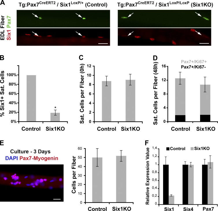 Six1 gene disruption does not influence SC quiescence, activation, or proliferation. (A) Single myofibers isolated from EDL muscles of control ( Tg:Pax7-CreERT2::Six1 flox/+ ) and Six1KO (Tg:Pax7 CreERT2 /Six1 flox/flox ) mice 1 wk after TM injection. Six1 protein expression is lost in Six1KO SCs (arrows). (B) The majority of SCs from Six1KO EDL and TA muscles are negative for Six1 expression. (C) Quantification of quiescent sublaminar Pax7 + SCs per EDL myofibers isolated from control and Six1KO mice 6 wk after TM injection. Six1 loss does not perturb SC quiescence in vivo. (D) EDL myofibers from control and Six1KO animals were cultured for 2 d to visualize SC activation (Pax7 + /Ki67 + ). Six1 loss does not perturb SC activation ex vivo. (E) EDL myofibers from control and Six1KO animals were cultured for 3 d. SC descendants were immunolocalized for both Pax7 and Myogenin proteins. Six1 loss does not perturb SC proliferation ex vivo. (F) Primary myoblasts were isolated from control and Six1KO limb muscles. qRT-PCR analysis indicated expression of Six1 , Pax7 , and Six4 transcripts. Six1 gene disruption does not have an impact on Pax7 and Six4 expression levels. Error bars indicate standard deviations. *, P