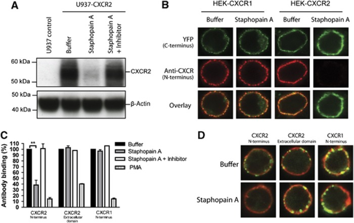 Staphopain A specifically cleaves the N-terminus of CXCR2. ( A ) Western blot analysis of U937-CXCR2 cells incubated with buffer, 0.5 μM Staphopain A, 0.5 μM Staphopain A plus 1 μM Staphostatin A for 15 min at 37°C. Whole-cell lysates were analysed by western blotting using an mAb against the N-terminus of CXCR2. Figure represents three independent experiments. ( B ) Confocal images of HEK cells transfected with human CXCR1 or CXCR2 fused to a C-terminal YFP tag. Cells were incubated with buffer or 0.5 μM Staphopain A for 30 min at 37°C. The N-termini were stained with mAbs and subsequent Alexa633-labelled anti-mouse antibodies. YFP was artificially coloured green. Images are representatives of three independent experiments. ( C ) Flow cytometry analysis of human neutrophils treated with 0.5 μM Staphopain A or 40 nM PMA for 15 min at 37°C. Cells were first stained with antibodies against the N-terminus of CXCR2, the extracellular loop of CXCR2 or the N-terminus of CXCR1 and subsequently with FITC-labelled secondary antibodies. Antibody binding is expressed in percentages, calculated by dividing the fluorescence of treated cells by fluorescence of buffer-treated cells and multiplying with 100. Figure represents the mean±s.e. of three separate experiments using different donors. ** P