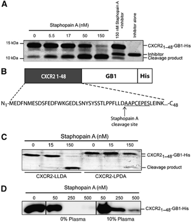 Determination of the Staphopain A cleavage site in CXCR2. ( A ) Staphopain A cleaves the CXCR2 1–48 -GB1-His protein. Different concentrations of Staphopain A were incubated with 6.75 μM CXCR2 1–48 -GB1-His protein for 15 min at 37°C. Samples were analysed by SDS–PAGE and Instant blue staining. Lane 6: CXCR2 1–48 -GB1-His plus 150 nM Staphopain A plus 1 μM Staphostatin A; lane 7: Staphostatin A alone. ( B ) N-terminal sequencing of the CXCR2 cleavage product generated by incubation of 6.75 μM CXCR2 1–48 -GB1-His protein with 150 nM Staphopain A for 15 min at 37°C. Sequencing was performed once. ( C ) Staphopain A cleavage of CXCR2 1–48 -GB1-His (left, LLDA) or CXCR2 1–48 -GB1-His mutated with a Proline at position 34 (right, LPDA). CXCR2 protein at 6.75 μM, 15 min at 37°C; proteins were stained using Instant Blue. ( D ) Staphopain A cleaves CXCR2 in the presence of plasma. CXCR2 1–48 -GB1-His (1.5 μM) was incubated with Staphopain A with or without 10% human plasma for 30 min at 37°C. CXCR2 was visualized by immunoblotting using anti-CXCR2 (N-terminus specific) antibodies. ( A , C and D ) Representatives of three separate experiments are shown.