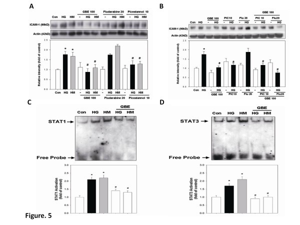 GBE inhibits high-glucose-induced activation of STAT1 and STAT3 as well as ICAM-1 accumulation in HAECs. (A) HAECs were incubated in high glucose for 3 days, followed by incubation with GBE, fludarabine (STAT1 inhibitor;20 μmol/l), or piceatannol (10 μmol/l) for 1 day. (B) HAECs were incubated in high glucose for 3 days, followed by incubation with GBE, fludarabine, piceatannol, fludarabine plus GBE, or piceatannol plus GBE for 1 day. (C and D) EMSAs for STAT1 and STAT3 were performed using nuclear extracts from human aortic endothelial cells that were cultured in high glucose or mannitol for 3 days, followed by treatment with GBE. Quantification of STAT1 and STAT3 activation in HAECs treated with high glucose combined with GBE is also shown. N = 6 in each set of experiment. * p