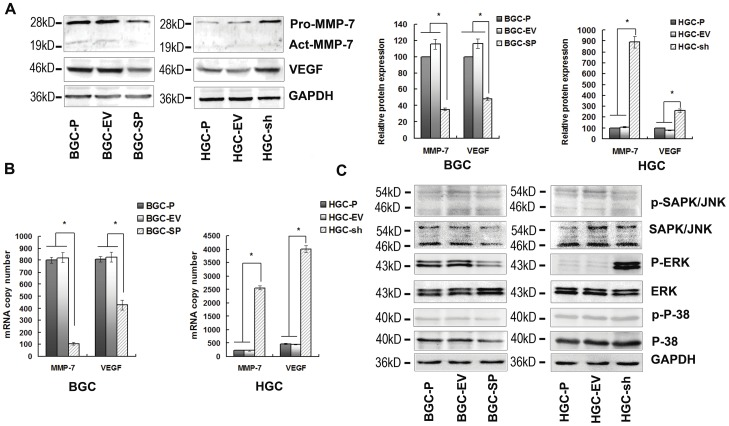 The MAPKs signalling pathway and expression of VEGF and MMP-7 are decreased by SPARC overexpression. ( A ) Cell lysates were used to perform western blotting analysis for VEGF and MMP-7 expression. GAPDH served as loading control. The expressions of VEGF and MMP-7 were declined at protein level in BGC-SP cells. The expressions of VEGF and MMP-7 were increased at protein level in HGC-sh cells. Columns are means (±s.d.) of triplicate experiments; *P