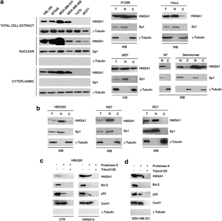 HMGA1 is located into the cytoplasm of cancer-derived cell lines and in MEFs. ( a ) Immunoblot analysis of HMGA1 expression in total (T), nuclear (N) and cytoplasmic (C) cell extracts from several breast tumor cell lines (BT549, MDA-MB-231, MDA-MB-468, T47D, MCF7), breast cell line (HBL100) (left), lung cancer cell line (H1299), cervical cancer cell line (HeLa), mouse embryonic fibroblasts (MEFs), human normal testis and seminomas (right). ( b ) Total (T), nuclear (N) and cytoplasmic (C) cell extracts from HEK293, ND7 and GC1 cells were analyzed by western blotting for the HMGA1 protein. Sp1 and γ -tubulin were used as markers of nuclear/cytoplasmic separation as well as loading controls. HMGA1 localizes at the mitochondria in the internal compartments and on the outer membrane. ( c ) Mitochondrial fractions from control and HMGA1b -transfected HEK293 cells were enzymatically digested by Proteinase K in the presence or absence of Triton X-100 (1%) and subsequently analyzed by western blotting for the indicated proteins. ( d ) Mitochondrial fractions from MDA-MB-231 cells were treated as in c and analyzed by western blotting for the indicated proteins. Cyclooxygenase IV (CoxIV), located to the inner mitochondrial membrane, was used as loading control. Cytosolic contamination was verified by western blotting using anti- γ -Tubulin antibodies