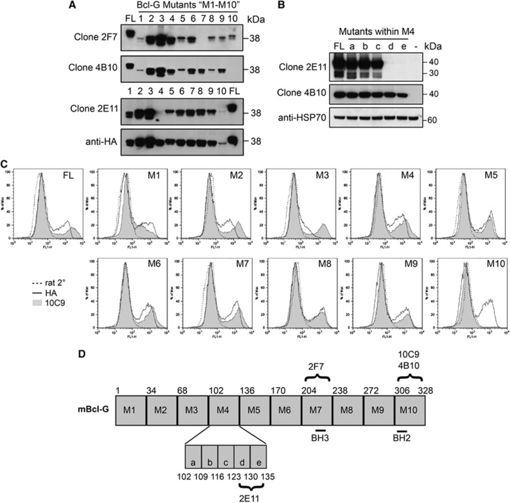 Bcl-G-specific mAbs bind to different regions on mouse Bcl-G. ( A ) A panel of ten truncated Bcl-G deletion mutants (M1–M10) was generated and these proteins overexpressed in 293T cells. The region on Bcl-G recognised by each mAb was determined by testing its ability to detect each Bcl-G truncation mutant in western blotting. Probing with HA-specific antibodies served as a loading control. 'FL' indicates full-length Bcl-G. ( B ) The epitope region recognised by mAb 2E11 was further narrowed using five mutants (a–e) within M4 (amino acids 102–135). '−' Indicates extracts from cells transfected with empty vector. ( C ) Intracellular FACS staining of transiently transfected 293T cells was used to map the epitope of mAb 10C9. Cells stained with HA antibody (solid line) or FITC-conjugated anti-rat secondary antibodies (dotted line) were used as positive and negative controls, respectively. ( D ) Schematic diagram of Bcl-G and the epitope regions recognised by each mAb