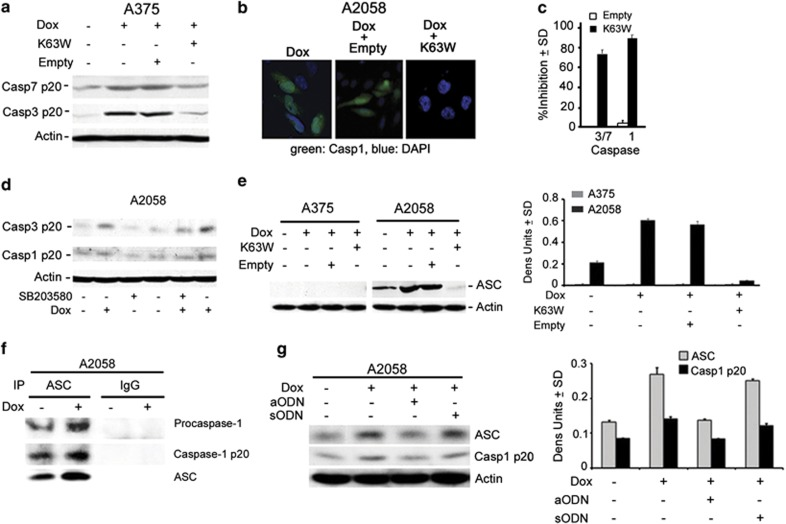 Caspase-1 activation is through TAK1-dependent ASC upregulation. ( a ) Protein extracts from stably transfected A375 cells untreated or treated with Dox (5 μ g/ml; 3 days) in the absence or presence of the TAK1 dominant-negative mutant K63W or the empty vector were immunoblotted with antibodies to activated caspase-7 (casp7p20), caspase-3 (casp3p20) or actin. Blots were stripped between probings. ( b ) Stably transfected A2058 cells as in ( a ) were stained with antibody to caspase-1p20 (AlexaFluor 488-conjugated secondary antibody; green) and DAPI (total cell number; blue). ( c ) Results for Dox-treated cells in ( a ) (densitometric units) and ( b ) (% positive cells) were averaged for three independent experiments and the % inhibition calculated from the formula [1−(K63W-transfected cells/untransfected cells)] × 100. ( d ) Extracts from stably transfected A2058 cells treated or not with Dox (5 μ g/ml; 3 days) in the presence or absence of the p38MAPK-specific inhibitor SB203580 (10 μ M) were immunoblotted with casp3p20, antibody, sequentially stripped and re-probed with antibodies to activated caspase-1 (casp1p20) and actin. ( e ) Extracts from stably transfected A375 and A2058 cells treated as in ( a ) were immunoblotted with antibodies to ASC or actin. Data were quantified by densitometric scanning and the results are expressed as ASC/actin densitometric units±S.D. ( f ) Extracts from stably transfected A2058 cells treated or not with Dox (5 μ g/ml; 3 days) were immunoprecipitated (IP) with ASC antibody or preimmune IgG and immunoblotted with antibodies to caspase 1 (recognizes the pro- and activated (p20) forms) and ASC. ( g ) Extracts from stably transfected A2058 cells given Dox (5 μ g/ml; 3 days) in the absence or presence of ASC aODN or sODN (30 μ M) were immunoblotted with antibodies to caspase1p20, ASC and actin. Data were quantified by densitometric scanning and the results are expressed as ASC or Casp1/actin densitometric units±S.D.