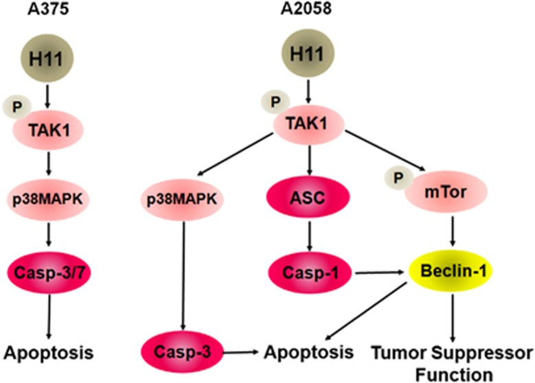 Schematic representation of the H11/HspB8-induced death pathways in A2058 and A375 cells. H11/HspB8 activates TAK1 in both melanoma lines. In A375 cells, the TAK1/p38MAPK pathway activates caspase-3/7 to cause apoptosis. In A2058 cells, the TAK1/p38MAPK pathway activates caspase-3, but TAK1 also activates caspase-1 through ASC upregulation and upregulates Beclin-1 through mTOR phosphorylation at S2481 (pmTORS2481). Caspase-1 cleaves Beclin-1 to promote apoptosis, but Beclin-1 also contributes to cell death through still unknown tumor-suppressor functions