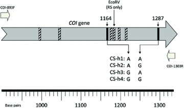 Diagram of the portion of mitochondrial Cytochrome Oxidase I ( COI ) gene used to identify strain and the individual corn-strain (CS) haplotypes. The putative translational start site of the COI gene was arbitrarily designated as coordinate 0. Short block arrows indicate location and direction of the COI-893F and COI-1303R primers used for PCR amplification and DNA sequencing. Vertical lines within the COI gene identify polymorphic sites with the rice-strain (RS) specific EcoRV site identified. All polymorphic sites except 1287 were used to identify or confirm strain identity. The CS-h haplotypes were determined by the polymorphisms at site 1164 and 1287.