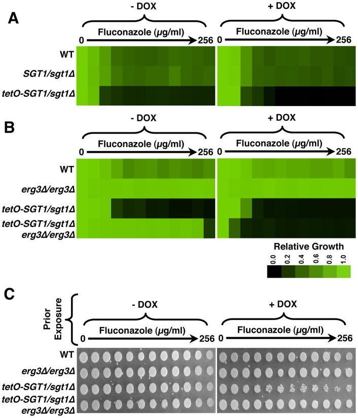 Sgt1 enables basal tolerance and erg3 -mediated resistance to the azoles. (A) Reduced levels of Sgt1 renders cells sensitive to fluconazole in minimum inhibitory concentration (MIC) assays. Assays were performed in YPD medium with a gradient of fluconazole from 0 to 256 µg/ml, in two-fold dilutions, with or without a fixed concentration of 20 µg/ml doxycycline (DOX), as indicated. Growth was measured by absorbance at 600 nm after 48 hours at 30°C. Optical densities were averaged for duplicate measurements and normalized relative to the no fluconazole control. Data was quantitatively displayed with colour using Treeview (see colour bar). (B) Reduced levels of Sgt1 renders azole-resistant erg3 mutants sensitive to fluconazole in MIC assays. Assays were performed in YPD medium with a gradient of fluconazole from 0 to 256 µg/ml, in two-fold dilutions, with a fixed concentration of 20 µg/ml doxycycline, as indicated. Growth was measured after 72 hours at 30°C. Data was analyzed as in part A. (C) Cells with reduced levels of Sgt1 remain viable after exposure to fluconazole. MIC assays were performed in YPD medium with a gradient of fluconazole from 0 to 256 µg/ml, in two-fold dilutions, with or without a fixed concentration of 20 µg/ml doxycycline, as indicated. Assays were grown for 48 hours at 30°C, and cells from the MIC assays were spotted onto YPD medium and incubated at 30°C for 48 hours before plates were photographed.