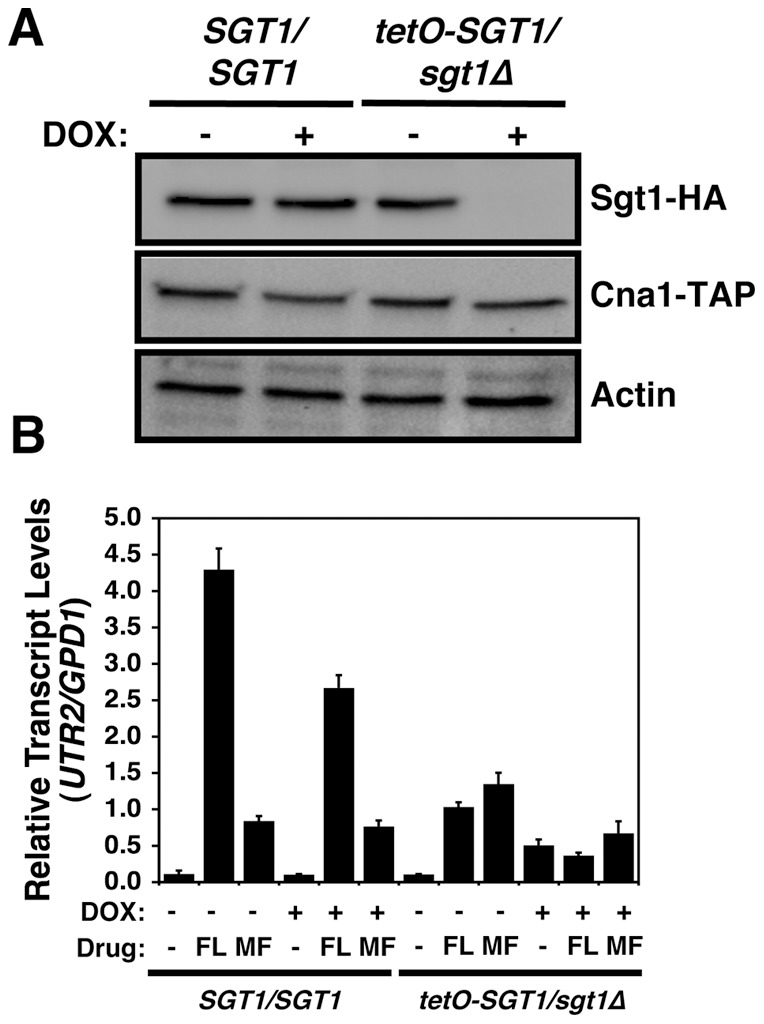 Hsp90 client protein Cna1 retains stability upon depletion of Sgt1, though Sgt1 is required for Cna1 activation. (A) Cna1 retains stability upon depletion of Sgt1. Sgt1 levels were reduced by growth overnight in 20 µg/ml doxycycline, followed by subculture in fresh medium with 20 µg/ml doxycycline and growth until mid-log phase. First panel, immune blot analysis of Sgt1 levels (50 µg protein loaded per well); and second panel, immune blot analysis of Cna1-TAP levels (50 µg protein loaded per well). Actin was used as a loading control. (B) Sgt1 is required for Cna1 activation in response to fluconazole or micafungin. Transcript levels of a Cna1-dependent gene, UTR2 , were measured for the wild-type ( SGT1/SGT1 ) or tetO-SGT1/sgt1 Δ strains by quantitative RT-PCR after growth in rich medium at 30°C with or without 20 µg/ml doxycycline (DOX), 16 µg/ml fluconazole (FL), and 30 ng/ml micafungin (MF), as indicated. UTR2 transcript levels were normalized to GPD1 . Data are means ± standard deviations for triplicate samples.